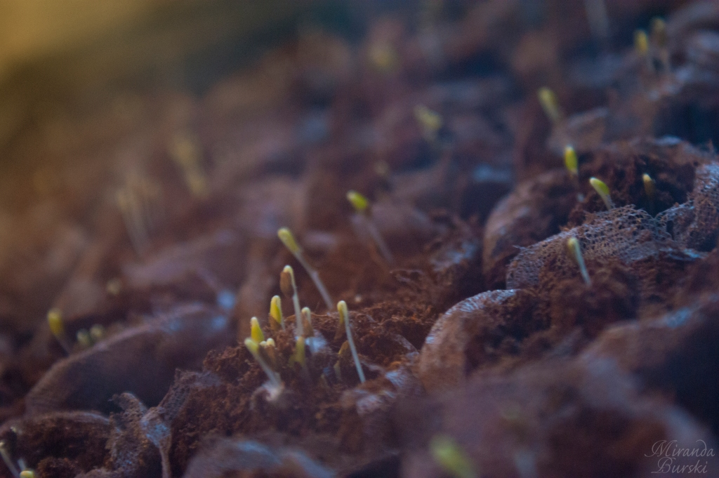 Lettuce sprouts