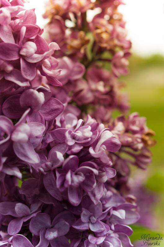 Lightly lilac