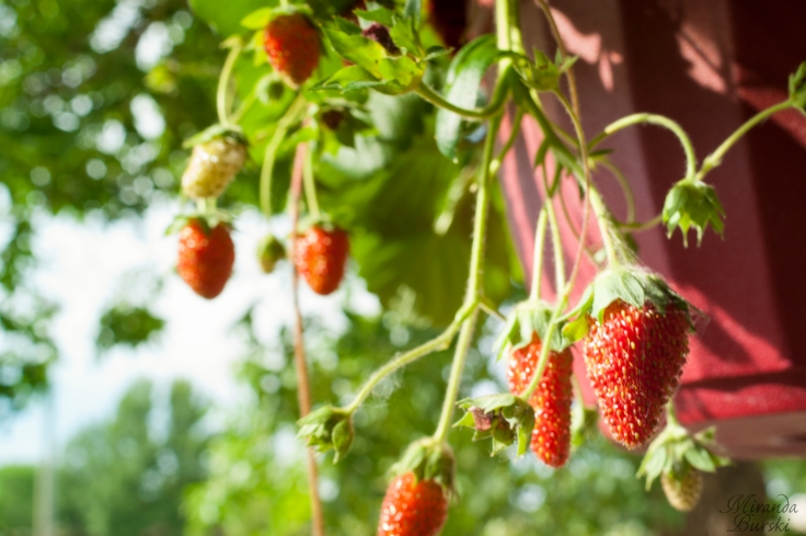 Sunny strawberries