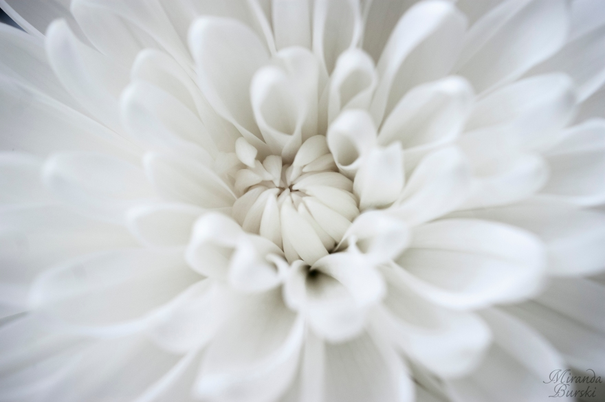 The centre of a poofy white flower