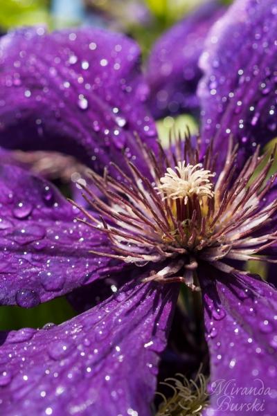Dew drops on a purple flower