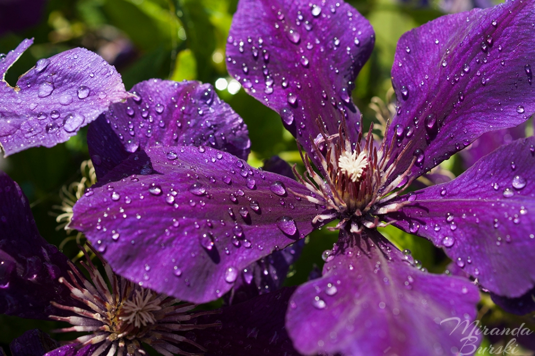 Dew Drops on Purple Flowers