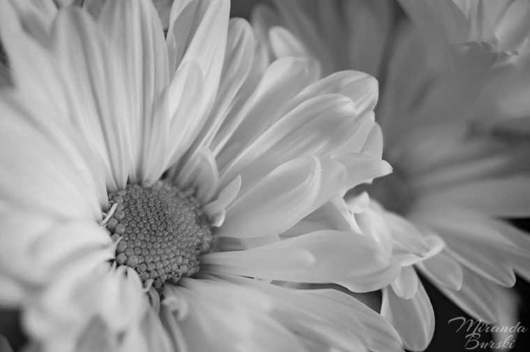 Black & White Daisies