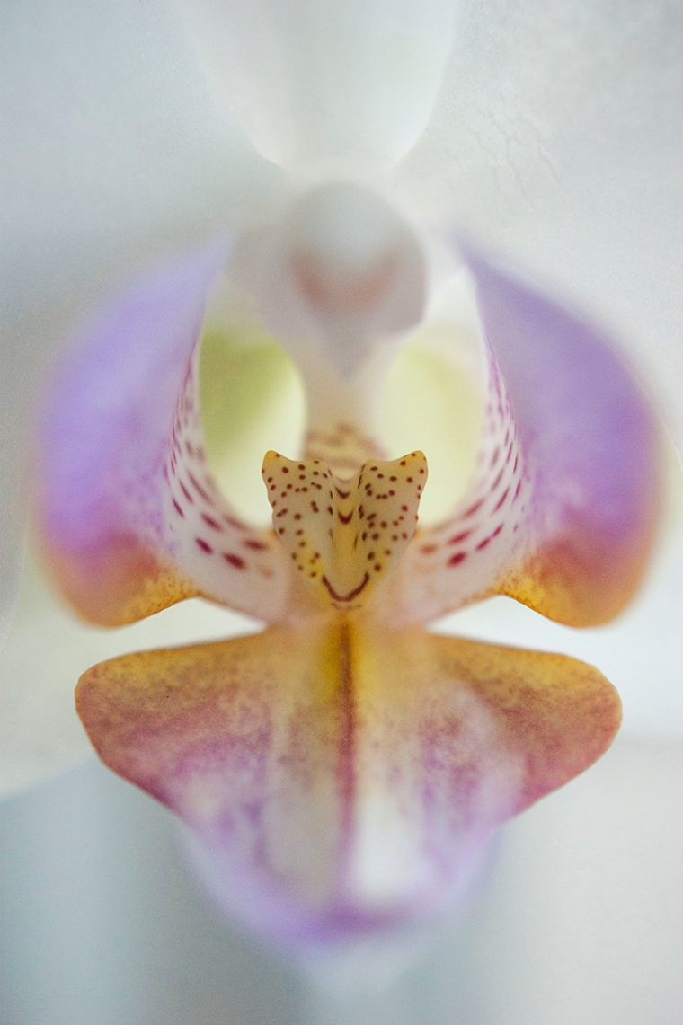 The centre of a purple, yellow and white orchid.