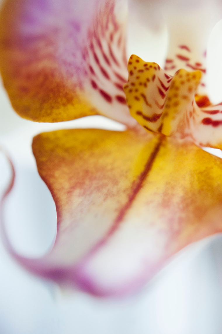 The curved bottom petal of a yellow, purple and white orchid