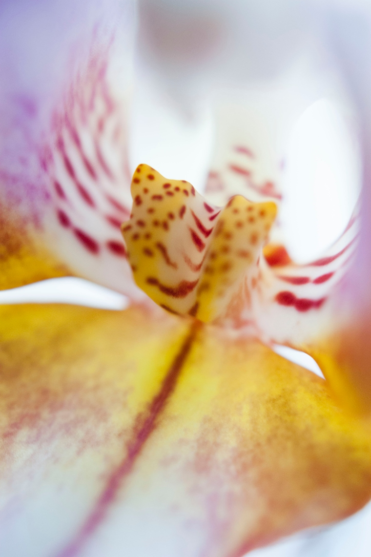 The centre of a spotted orchid