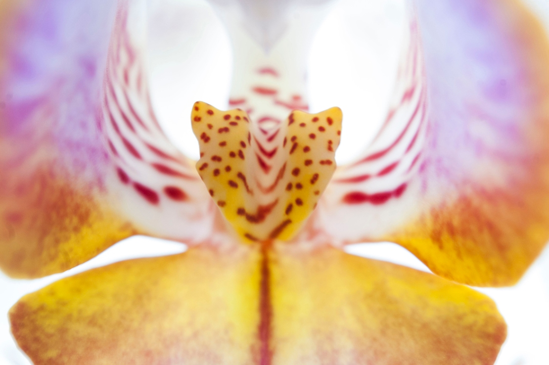 The spotted centre of a purple, yellow and white orchid