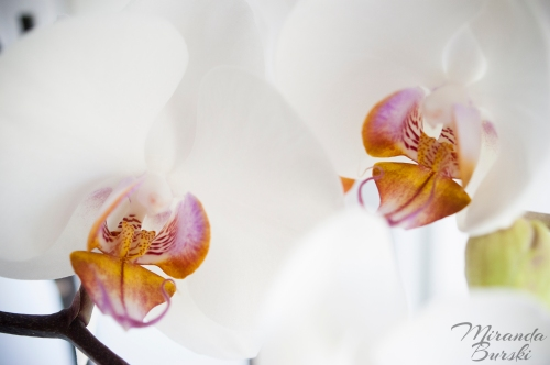 Two yellow, purple and white orchid flowers