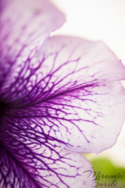 A close-up of a purple petunia petal