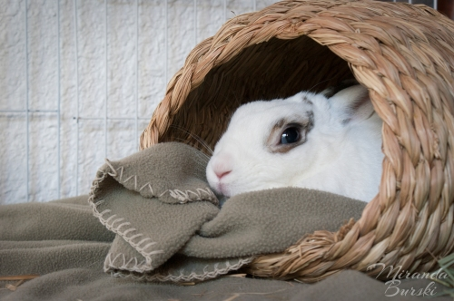 A rabbit sitting cozily in a basket with a blanket