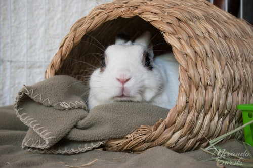 A cozy, but alert, rabbit sitting in a basket with a blanket