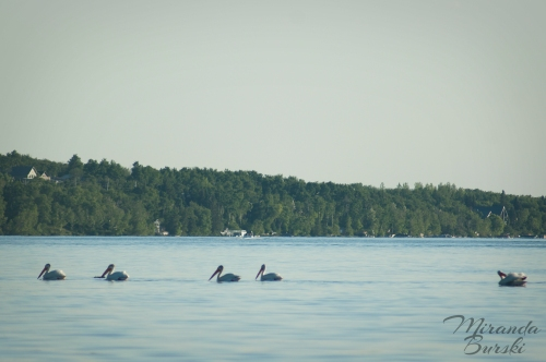 A small group of pelicans swimming on a lake