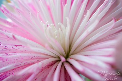 A pink and white flower with thin petals