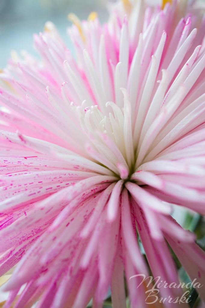 A close-up of a poofy pink and white flower