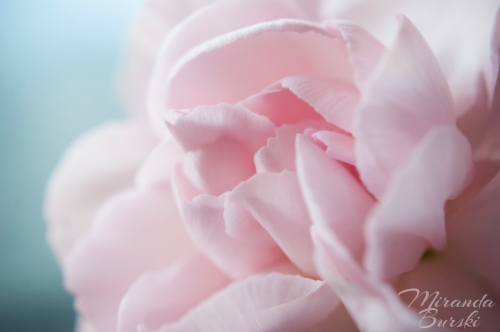 A close-up of a simple pink carnation on a blue background