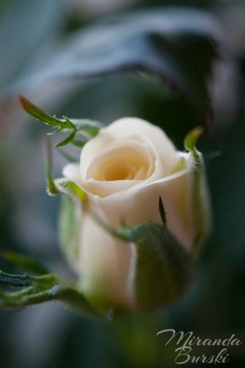 A white rosebud on a dark background