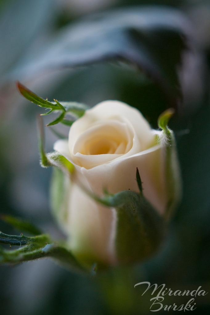 A white rosebud on a dark background