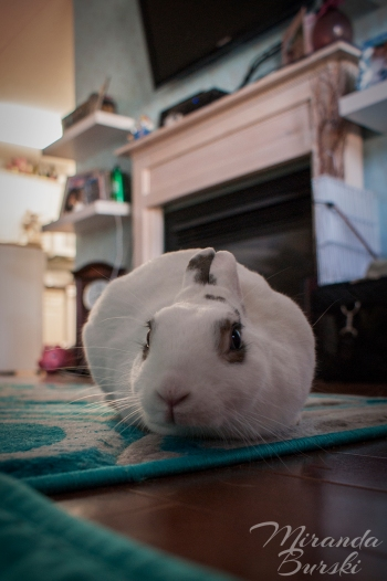 A rabbit sitting like a bun