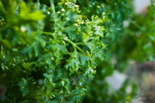 Curly parsley in sunlight
