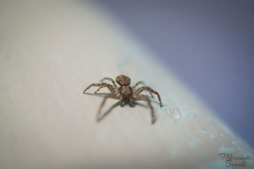 A small brown house spider