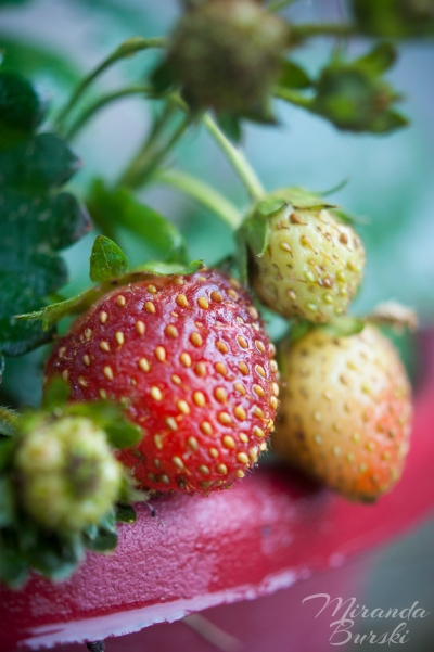 Four small strawberries in a garden pot