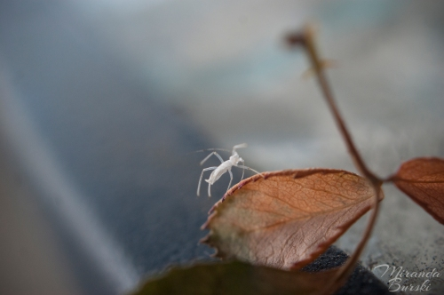 A little white bug on a rose leaf