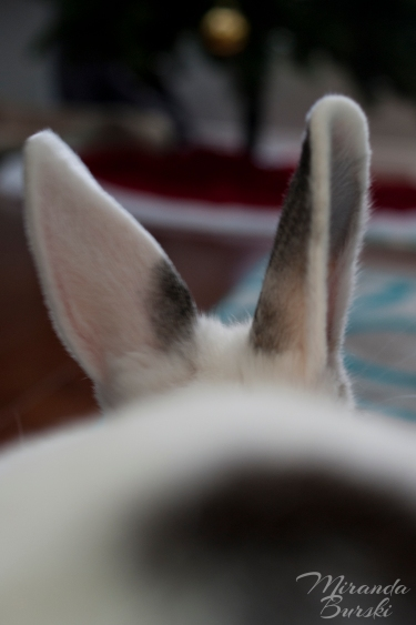 A rabbit's ears, one of which is pointed toward the camera