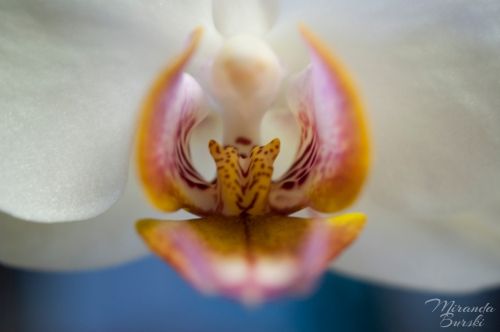 An orchid on a blue background