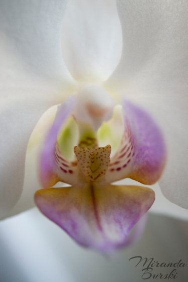 A purple, white, and yellow orchid