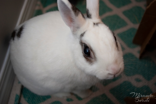 A white and black rabbit, sitting nicely.