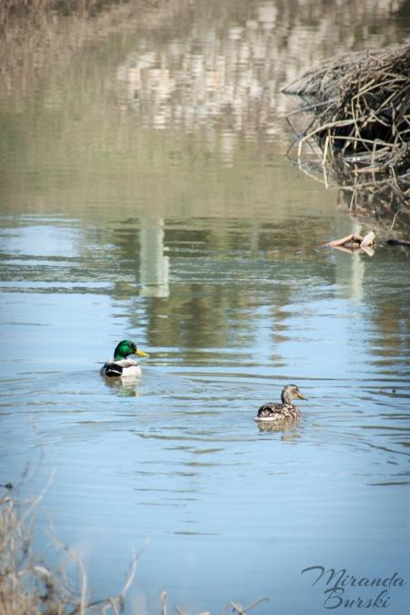 Two mallards swimming in a creek.