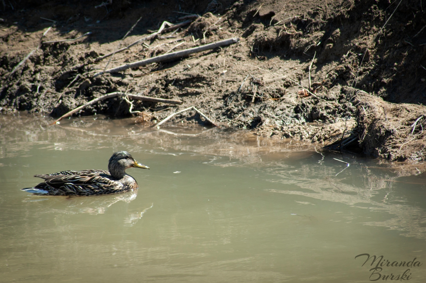 A brown mallard swimming on water, with the shore in the background.