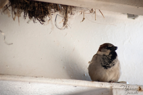A small black, white, and brown bird sitting on a ledge, with part of a nest in the background.