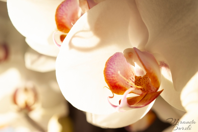 A couple of white, purple, and yellow orchids, backlit by the sun.