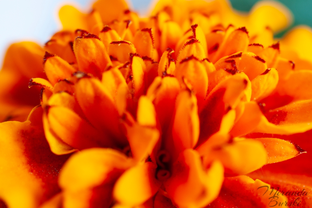 A close-up of orange marigold petals.