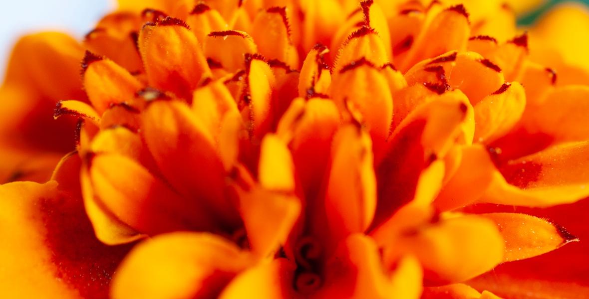 A close-up of orange marigold petals.