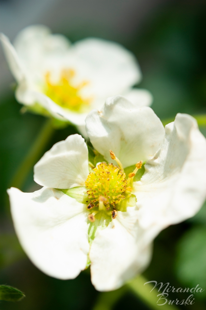 Two small, white strawberry flowers.