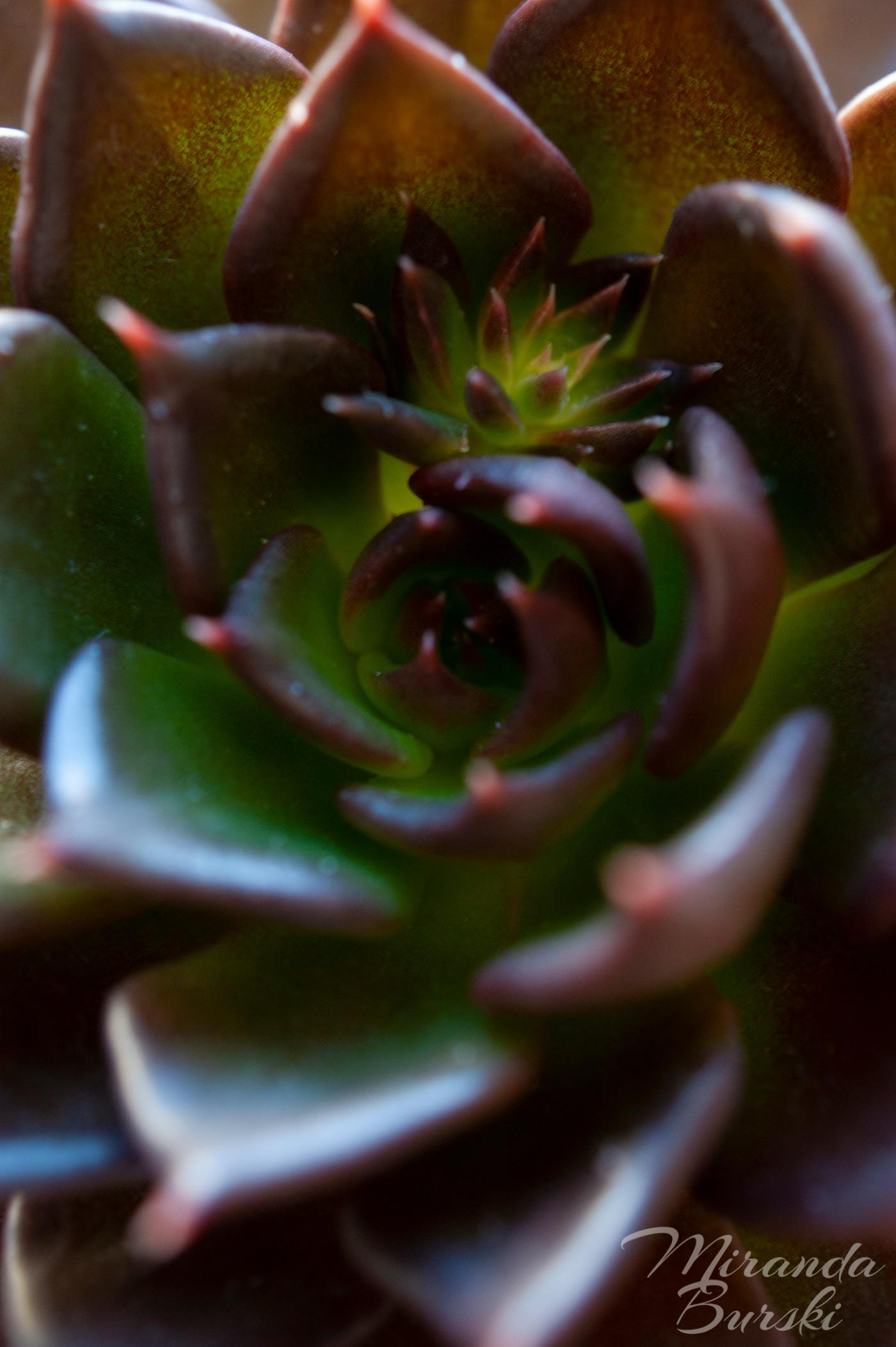 A close-up of a Black Prince succulent.