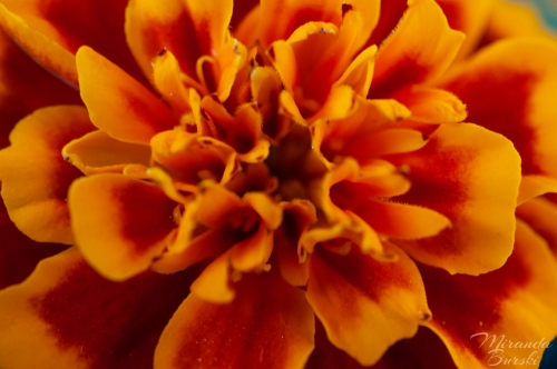 A close-up of the centre of a yellow and orange marigold flower.