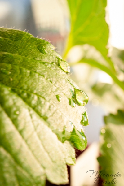 Water droplets on the edge of a strawberry leaf.