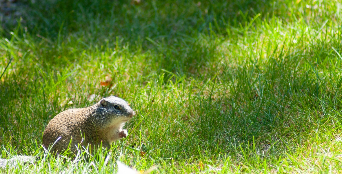 A small rodent looking for food in some grass.