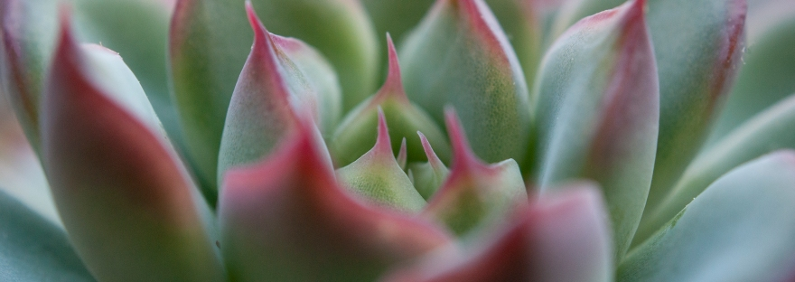 A close-up of a succulent with green and red leaves.