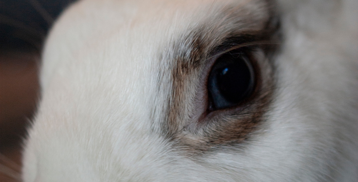 A white and black rabbit with a bright blue eye.