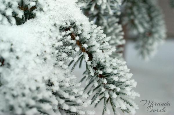 Snow covering pine needles.