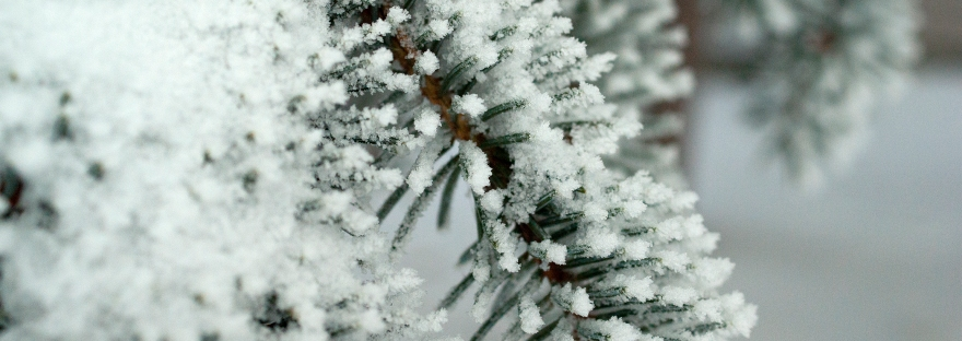 Snow covering pine needles.