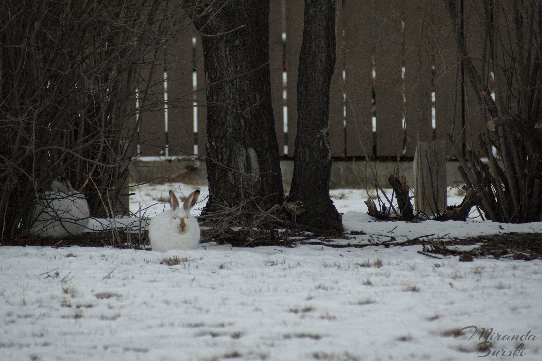 Two white and brown jack rabbits, sleeping on snow near trees and a fence.