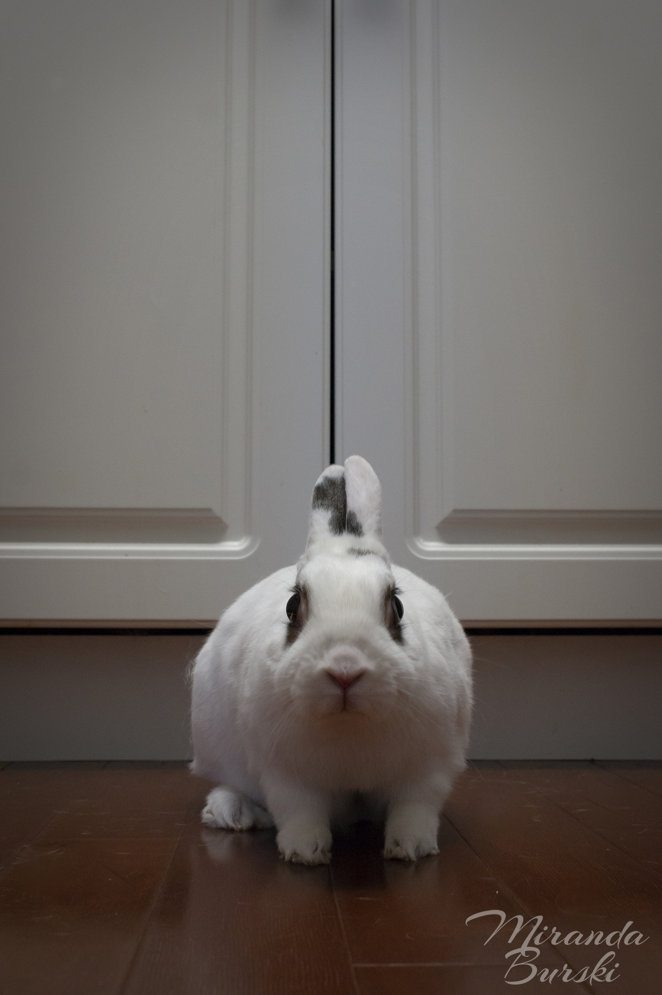 A white and black rabbit in front of cuboards.