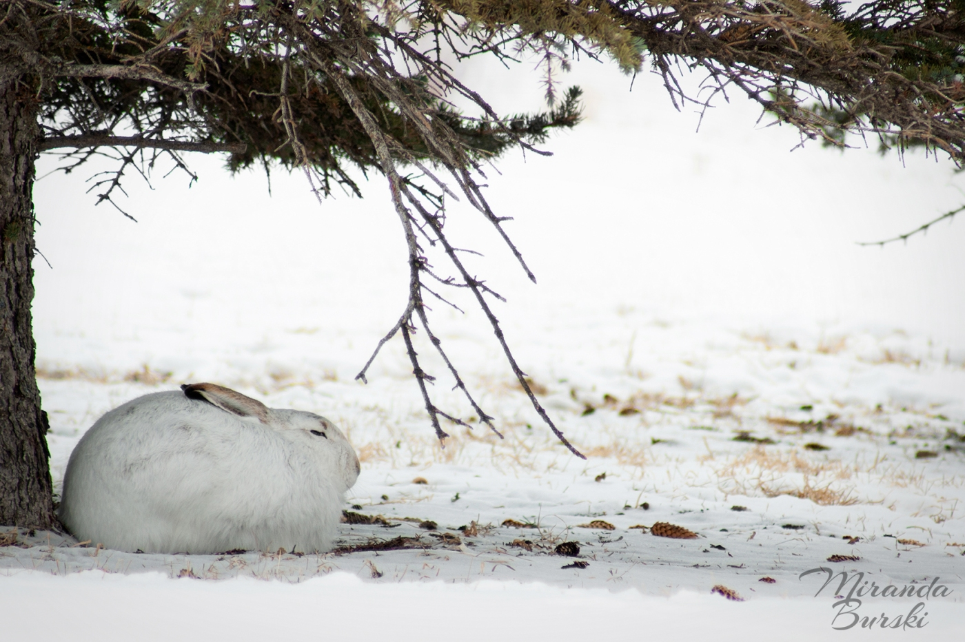 A white rabbit napping under a tree, with snow in the background.