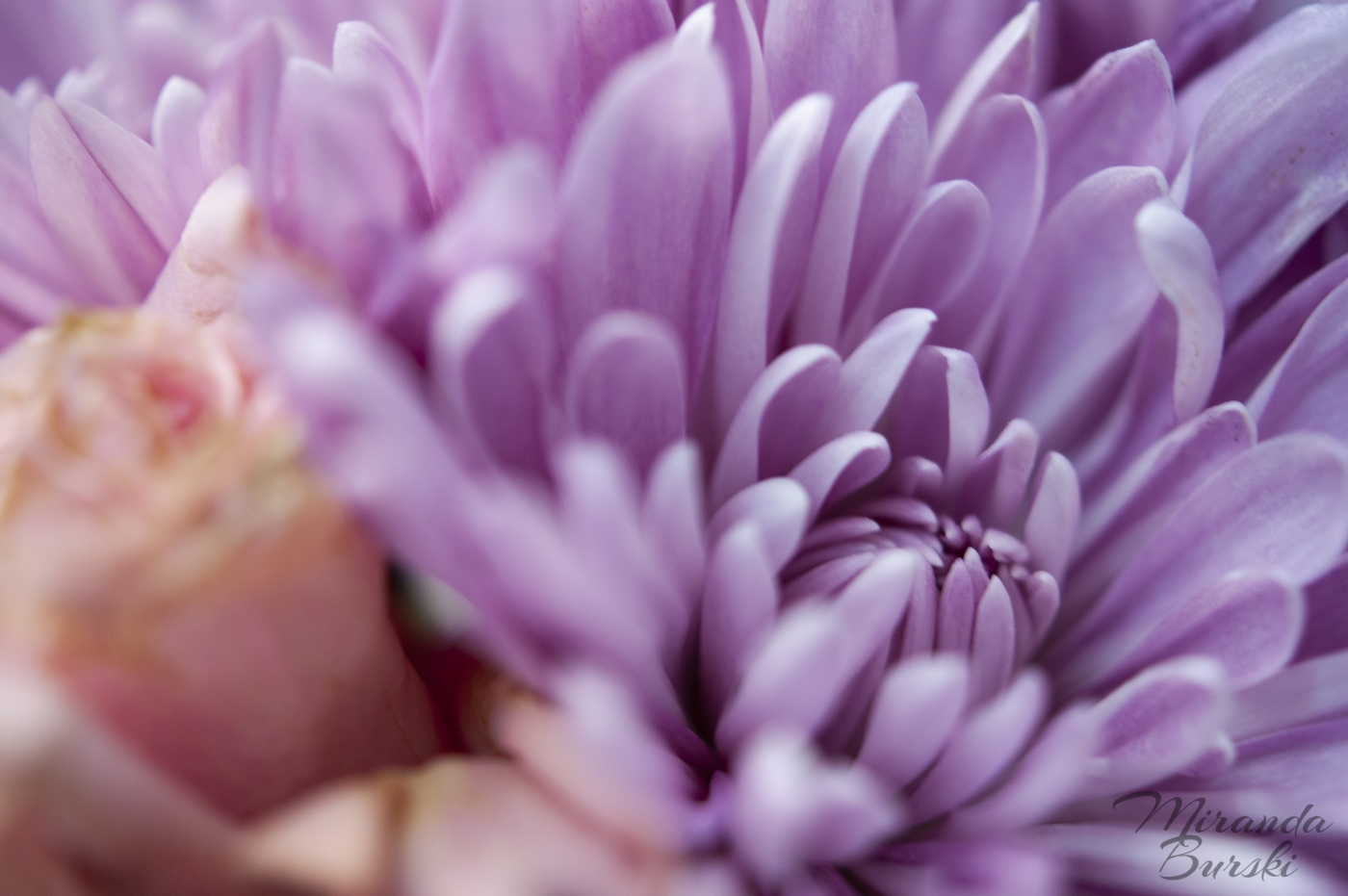 A close-up of purple and pink flowers.