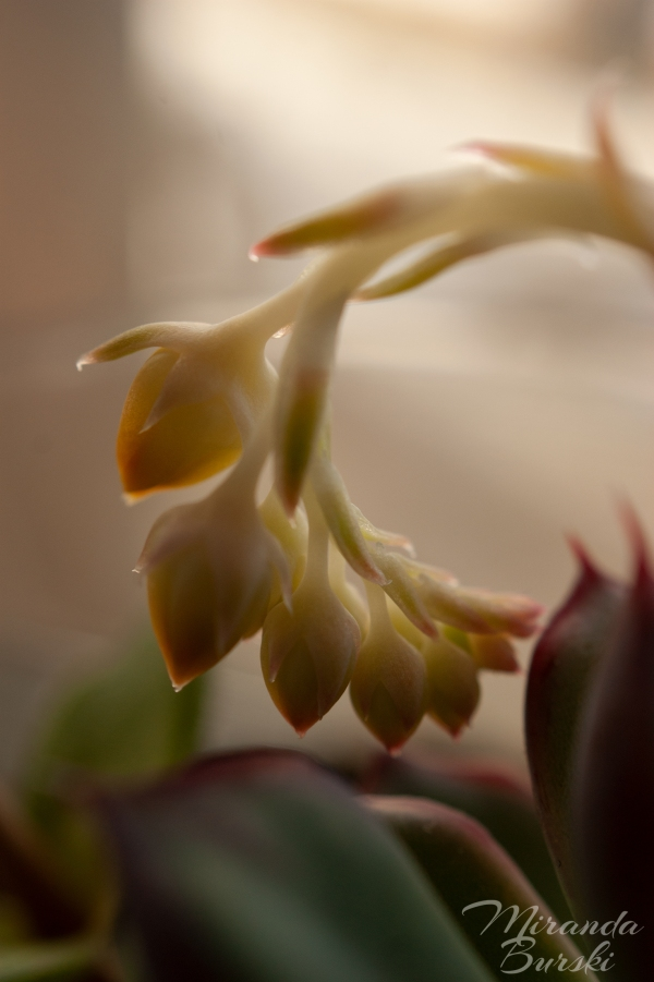 Flower buds growing on a succulent, softly lit by sunlight.